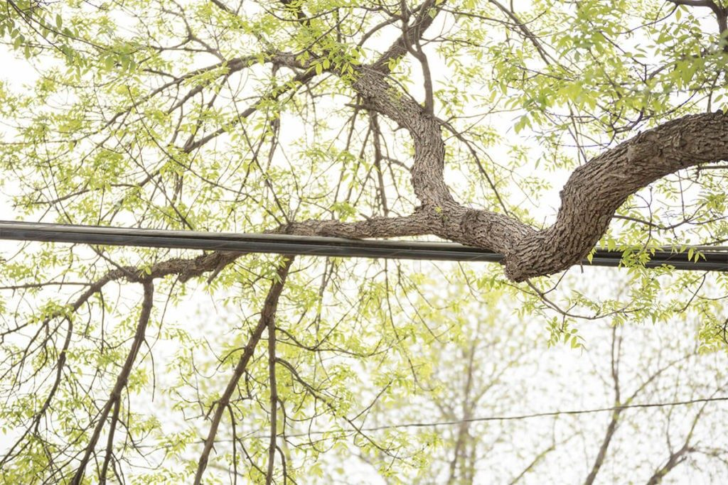 Tree-Bracing-Cabling-Fayetteville Tree Trimming and Stump Grinding Services-We Offer Tree Trimming Services, Tree Removal, Tree Pruning, Tree Cutting, Residential and Commercial Tree Trimming Services, Storm Damage, Emergency Tree Removal, Land Clearing, Tree Companies, Tree Care Service, Stump Grinding, and we're the Best Tree Trimming Company Near You Guaranteed!